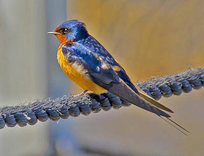 Sports Royalty-Free and Rights-Managed Images - Barnswallow by David Tennis
