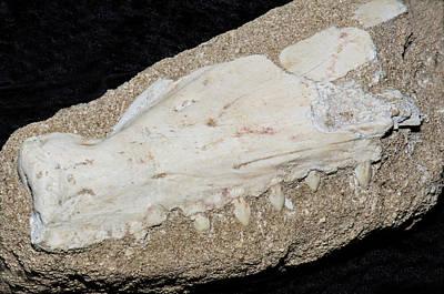 Photograph - Barracuda Jaw Fossil by Millard H. Sharp