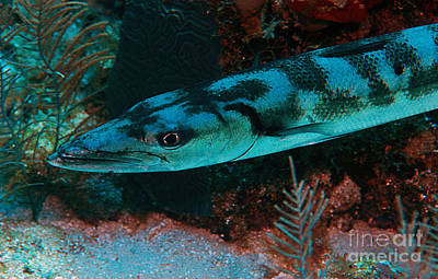 Photograph - Barracuda by JT Lewis