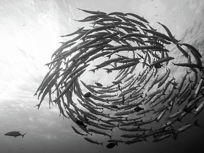 Scuba Diving Wall Art - Photograph - Barracuda Tornado by Yumian Deng