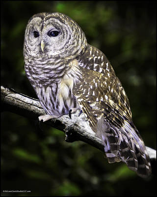 Barred Night Owl Art Print
