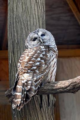 Barred Owl 264 Art Print by Joyce StJames