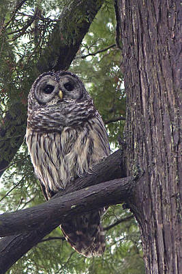 Photograph - Barred Owl 2a by Sharon Talson