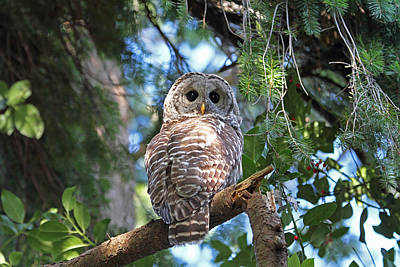 Photograph - Barred Owl And Holly by Peggy Collins