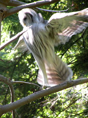 Barred Owl Angelic Liftoff Art Print by Brian Chase