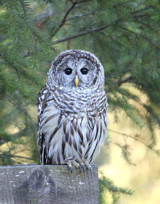 Photograph - Barred Owl by Angie Vogel