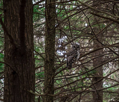 Photograph - Barred Owl by Anthony Thomas