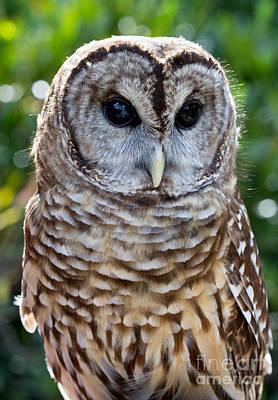 Barred Owl Original