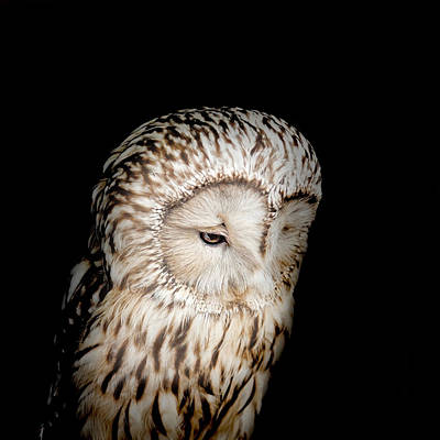 Raptors Photograph - Barred Owl by Bill Wakeley