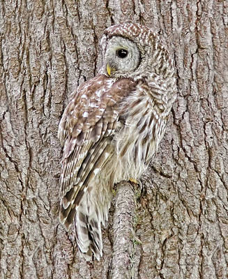 Food And Flowers Still Life Rights Managed Images - Barred Owl Camouflage Royalty-Free Image by Jennie Marie Schell