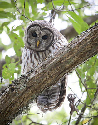 Barred Owl Photograph - Barred Owl by Chris Dutton