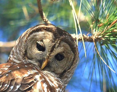 Photograph - Barred Owl  Close-up by Ira Runyan