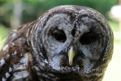 Moody Trees - Barred Owl by Dwight Cook