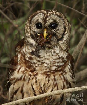 Barred Owl Eating Crawfish Art Print by Kelly Morvant