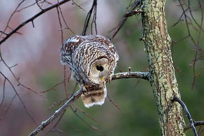Barred Owl Eyeing Prey. Original by Michel Soucy