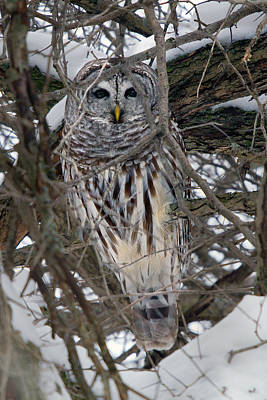 Photograph - Barred Owl Hiding by Timothy McIntyre