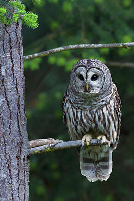 Barred Owl Photograph - Barred Owl, Hunting At Dusk by Ken Archer