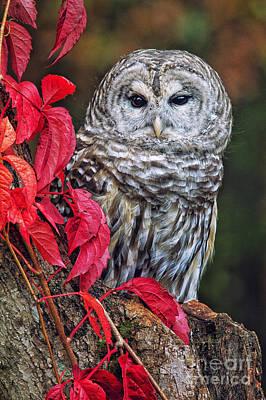 Barred Owl II Art Print by Todd Bielby