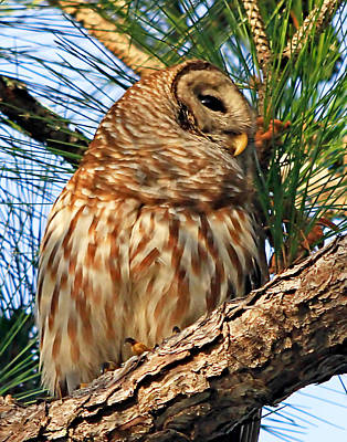 Photograph - Barred Owl In A Pine Tree by Ira Runyan