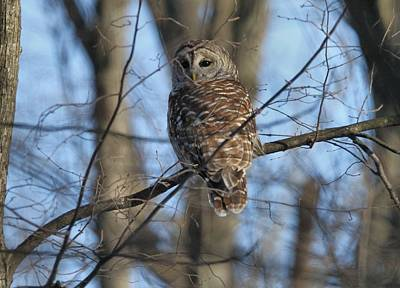 Photograph - Barred Owl In A Tree by Dan Sproul