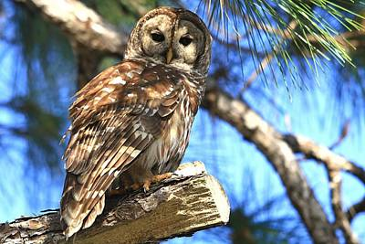 Photograph - Barred Owl In A Tree by Ira Runyan