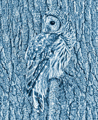 Photograph - Barred Owl In Blue by Jennie Marie Schell