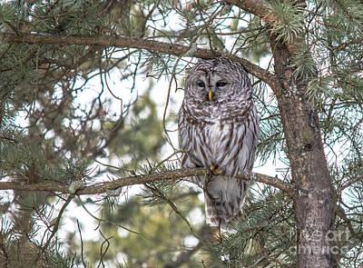 Photograph - Barred Owl In Cedar by Cheryl Baxter