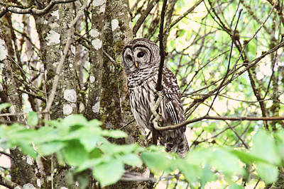 Owls Photograph - Barred Owl In Forest by Peggy Collins
