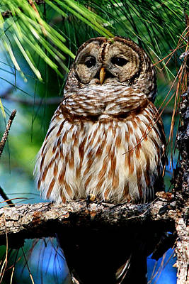 Photograph - Barred Owl In Pine Tree by Ira Runyan
