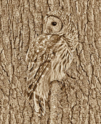 Photograph - Barred Owl In Sepia by Jennie Marie Schell