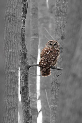 Barred Owl In Winter Woods #1 Art Print