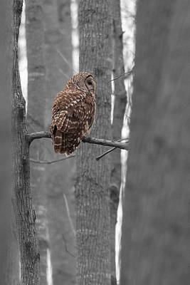Photograph - Barred Owl In Winter Woods #2 by Paul Rebmann