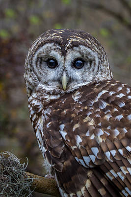 Photograph - Barred Owl by James Woody