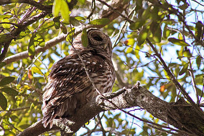 Photograph - Barred Owl by Jessica Brown