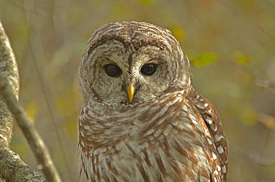 Barred Owl Looking At You Art Print