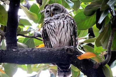 Photograph - Barred Owl by Marilyn Burton