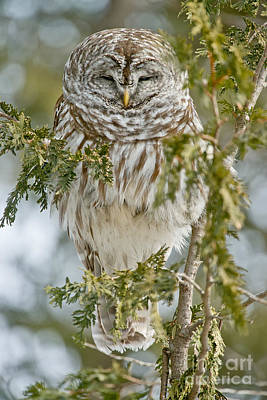 Photograph - Barred Owl by Michael Cummings