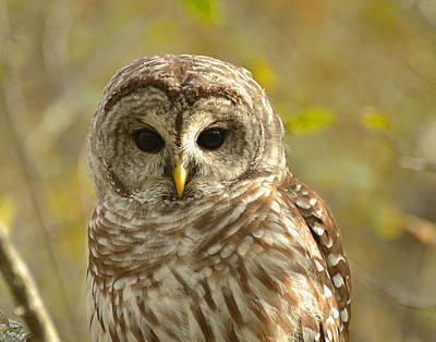 Barred Owl Art Print by Nancy Landry
