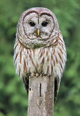 Photograph - Barred Owl On A Fence Post by Jennie Marie Schell