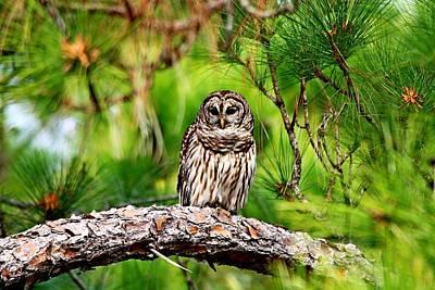Photograph - Barred Owl On A Tree Limb. by Ira Runyan