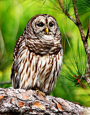 Photograph - Barred Owl On Green by Ira Runyan