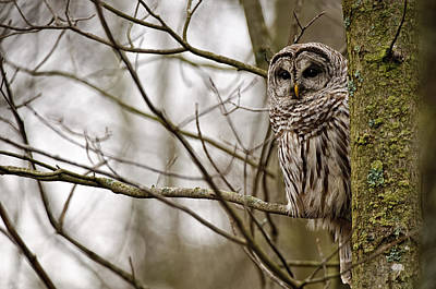Its A Piece Of Cake - Barred Owl by Owl Images