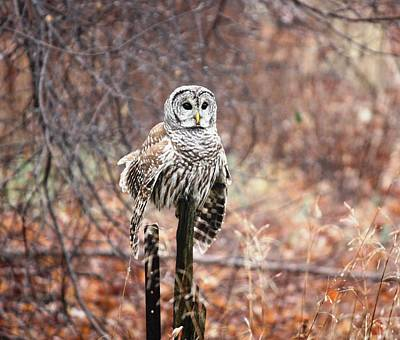 Barred Owl Art Print by Pat Purdy