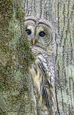 Lichen Photograph - Barred Owl Peek A Boo by Jennie Marie Schell