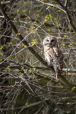 Hunter Photograph - Barred Owl Portrait by Bill Wakeley
