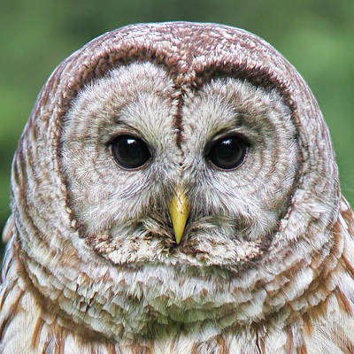 Photograph - Barred Owl Portrait by Jennie Marie Schell