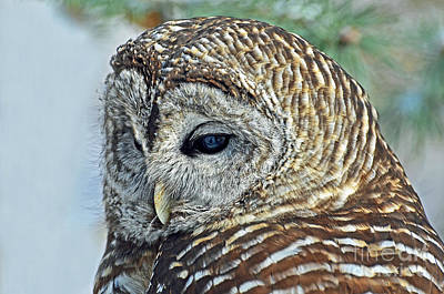 Photograph - Barred Owl Portrait by Rodney Campbell