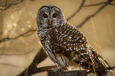 Photograph - Barred Owl by Scott Bean