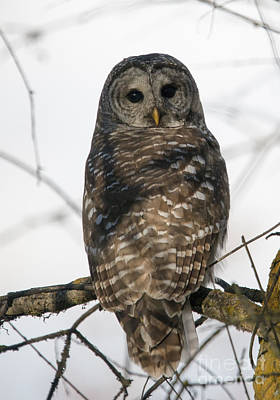 Barred Owl Photograph - Barred Owl Stare by Mike Dawson