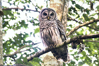 Barred Owl Photograph - Barred Owl Staring by Peggy Collins
